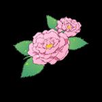 image-damaskrose